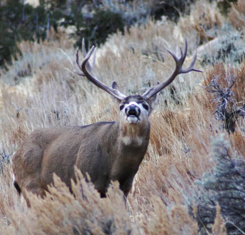 Big Mule Deer Bucks