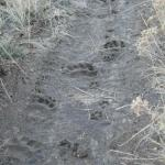 Black Bear and Coyote Tracks